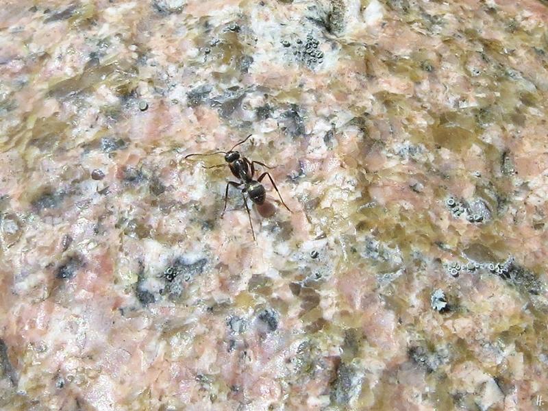 2020-04-05 LüchowSss Garten Grauschwarze Wegameise bzw. Schwarze Gartenameise (Lasius niger)