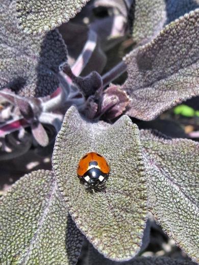 2020-04-05 LüchowSss Garten Purpursalbei (Salvia officinalis purpurascens) + Siebenpunkt-Marienkäfer (Coccinella septempunctata)