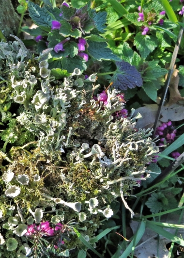 2020-04-05 LüchowSss Garten Stubben mit Becherflechten (Cladonia spec.), Moos u. Purpurroter Taubnessel (Lamium purpureum) (1)