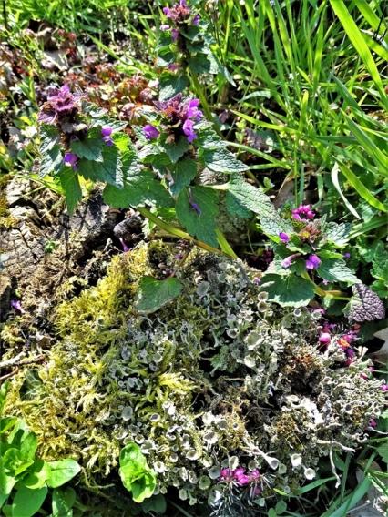 2020-04-05 LüchowSss Garten Stubben mit Becherflechten (Cladonia spec.), Moos u. Purpurroter Taubnessel (Lamium purpureum) (2)