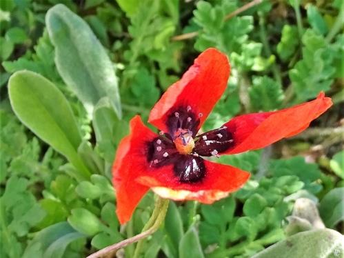 2020-04-06 LüchowSss Garten Sandmohn (Papaver argemone) (2)