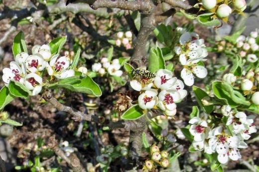 2020-04-07 LüchowSss Garten Birnenblüten + Feldwespe