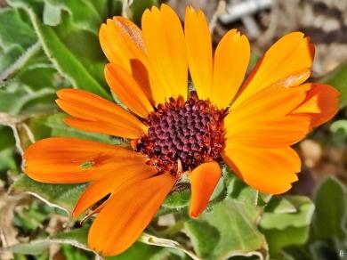 2020-04-07 LüchowSss Garten Ringelblume (Calendula officinalis) + grüne Blattlaus (1)