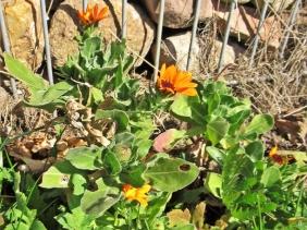 2020-04-07 LüchowSss Garten Ringelblumen (Calendula officinalis) (2)