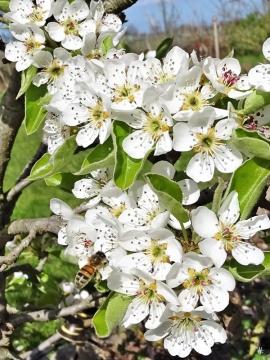 2020-04-09 LüchowSss Garten Europäische Honigbiene + Birnenblüten