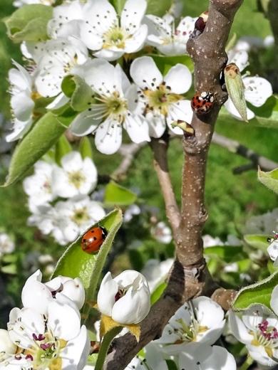 2020-04-09 LüchowSss Garten Siebenpunkt (Coccinella septempunctata) + Asiatischer Marienkäfer (Harmonia axyridis) + Birnenblüten (Pyrus communis))