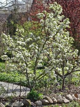 2020-04-10 LüchowSss Garten Birnenblüten (1)