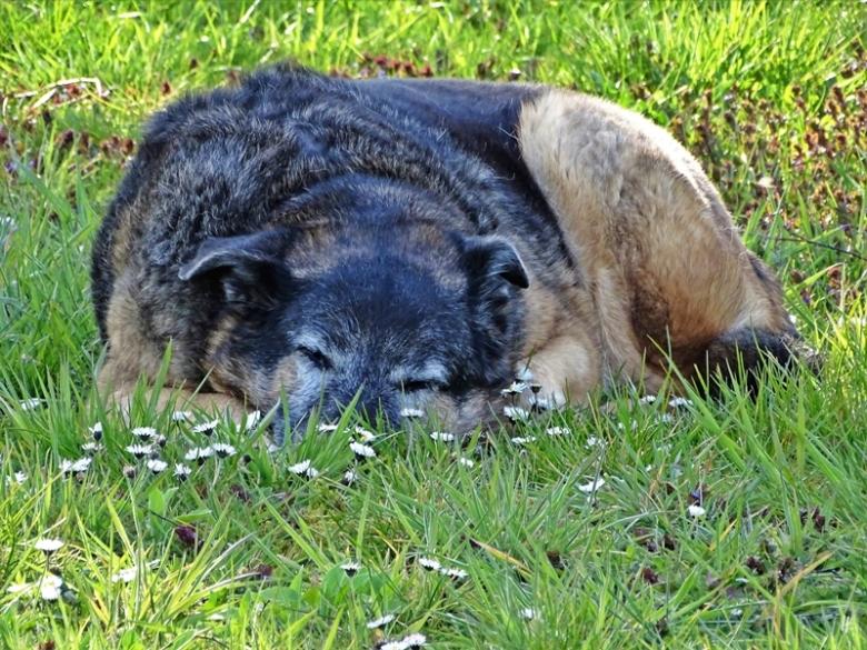 2020-04-11 LüchowSss Garten Bongo chillt im Gras (2)