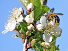 2020-04-11 LüchowSss Garten Prunus X + Rotschopfige Sandbiene (Andrena haemorrhoa)