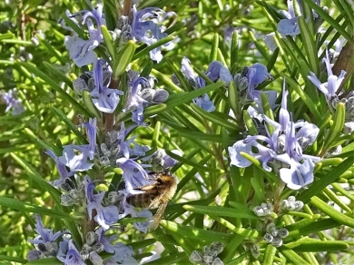 2020-04-11 LüchowSss Garten Rosmarin + Honigbiene (3)
