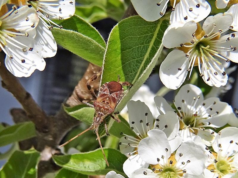 2020-04-12 LüchowSss Garten 1x10 Amerikanische Kiefernwanze (Leptoglossus occidentalis) zwischen Birnenblüten (3)