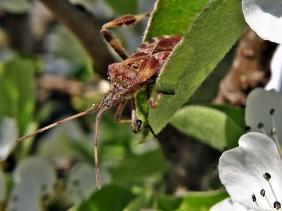 2020-04-12 LüchowSss Garten 1x10 Amerikanische Kiefernwanze (Leptoglossus occidentalis) zwischen Birnenblüten (4)