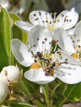2020-04-12 LüchowSss Garten 1x10 Birnenblüten + 2 streitende Grauschwarze Wegameisen