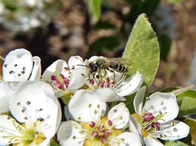 2020-04-12 LüchowSss Garten 1x10 Birnenblüten + Gewöhnliche Sandbiene (Andrena flavipes, m.) (1)