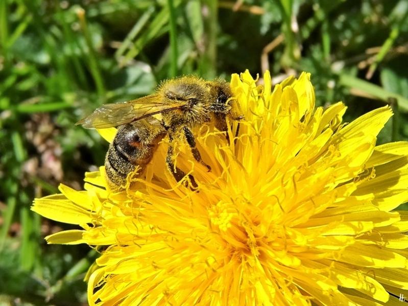 2020-04-12 LüchowSss Garten 1x10 Löwenzahn (Taraxacum officinale) + Europäische Honigbiene (Apis mellifera)