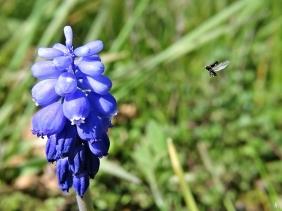 2020-04-12 LüchowSss Garten 1x10 Nahlinse Armenische Traubenhyazinthe (Muscari armeniacum) + kl. Käfer im Anflug