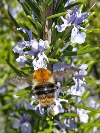 2020-04-12 LüchowSss Garten 1x10 Rosmarin (Rosmarinus officinalis) + Ackerhummel (Bombus pascuorum) (4)