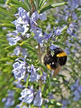 2020-04-12 LüchowSss Garten 1x10 Rosmarin (Rosmarinus officinalis) + Dunkle Erdhummel (Bombus terrestris) (2)