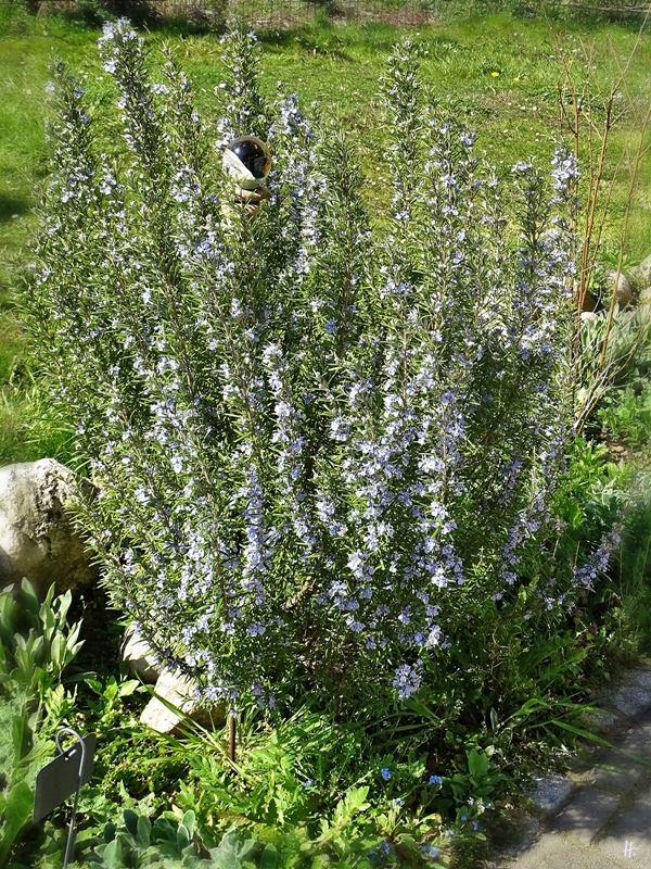 2020-04-12 LüchowSss Garten vormittags blühender Rosmarin-Strauch (Rosmarinus officinalis)