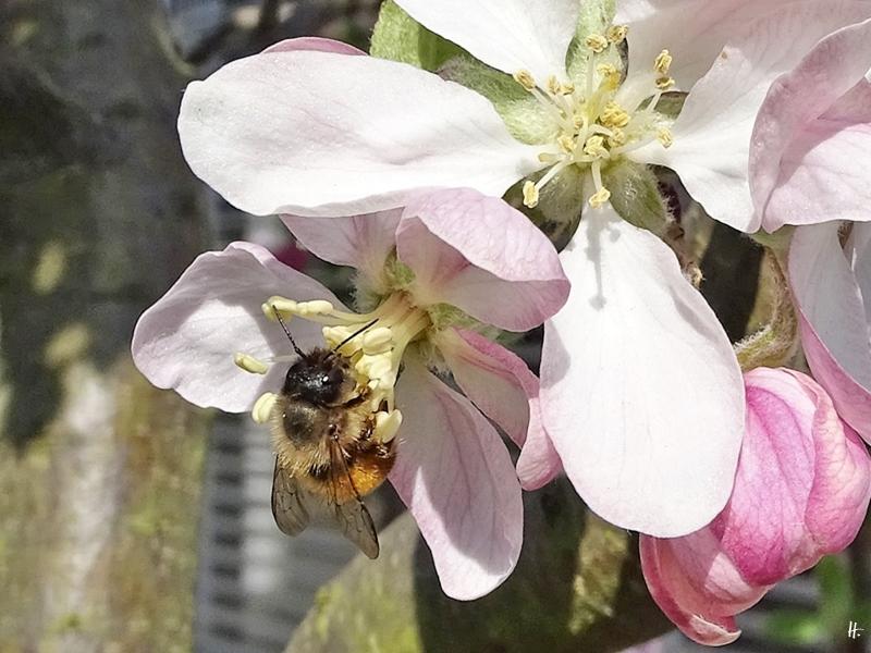 2020-04-16 LüchowSss Garten Apfelbäume - Rote Mauerbiene (Osmia bicornis) (2)