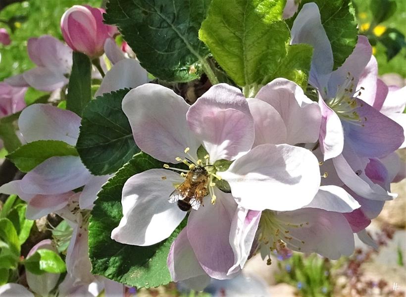2020-04-16 LüchowSss Garten Apfelbäume - Rote Mauerbiene (Osmia bicornis) (3)