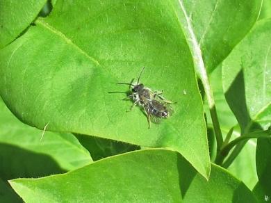 2020-04-17 LüchowSss Garten-Flieder (Syringa vulgaris) mit Wildbiene (1)