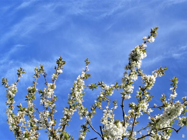 2020-04-17 LüchowSss Garten Süsskirsche 'Schneiderkirsche' + blauer Himmel