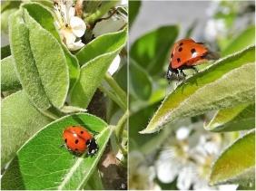 2020-04-18 LüchowSss Garten Birnenblüten + Siebenpunkt-Marienkäfer ( Coccinella septempunctata) (1x2)