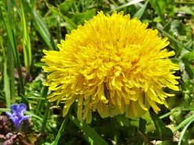 2020-04-18 LüchowSss Garten Löwenzahn (Taraxacum officinale) Superblüte bzw. Fasziation