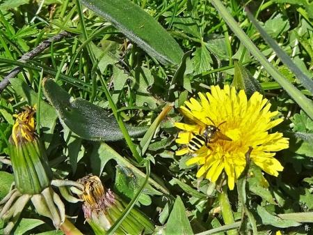 2020-04-18 LüchowSss Garten Löwenzahn (Taraxacum officinale) + Wespenbiene (Nomada goodeniana)