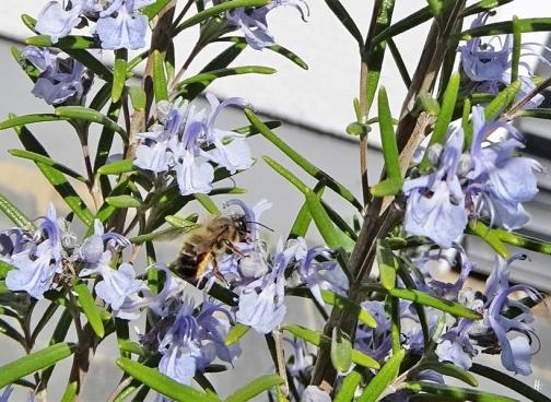 2020-04-18 LüchowSss Garten Rosmarin (Rosmarinus officinalis) + vermutl. Rote Mauerbiene (Osmia bicornis) (3)
