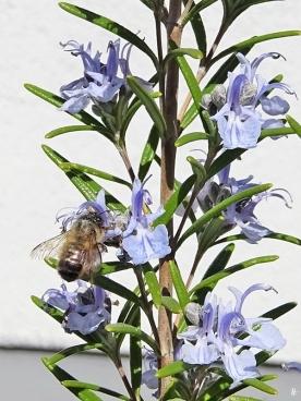 2020-04-18 LüchowSss Garten Rosmarin (Rosmarinus officinalis) + vermutl. Rote Mauerbiene (Osmia bicornis) (4)