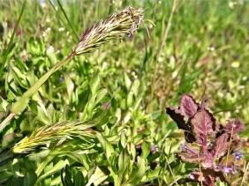 2020-04-18 LüchowSss Garten Ruchgras (Anthoxanthum odoratum)