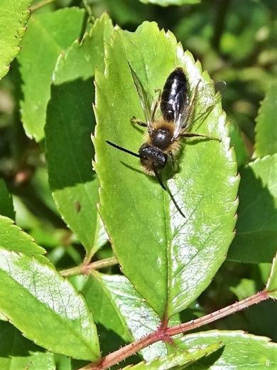 2020-04-18 LüchowSss Garten Wildbiene - vermutl. Schwimmende Sandbiene (Andrena barbilabris) - auf Blättern der Grünen Rose (Rosa chinensis Jacq. 'Viridiflora' )