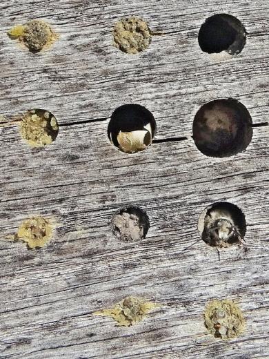 2020-04-18 LüchowSss Insektenhotel + Rostrote Mauerbiene (Osmia bicornis) + evtl. Stahlblaue Mauerbiene (Osmia caerulescens) (2)