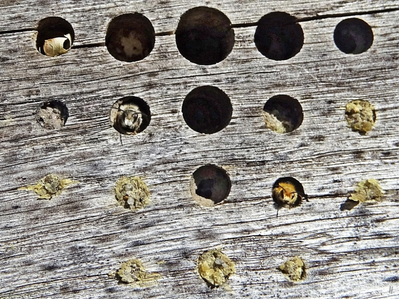 2020-04-18 LüchowSss Insektenhotel + Rostrote Mauerbiene (Osmia bicornis) + evtl. Stahlblaue Mauerbiene (Osmia caerulescens, f.) (5)