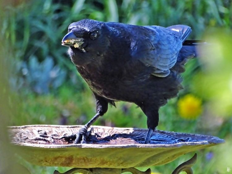 2020-04-19 LüchowSss Garten Rabenkrähe (Corvus corone corone) - Ditschen an der Vogeltränke (3)