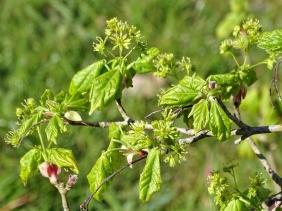 2020-04-20 LüchowSss Garten Feldahorn (Acer campestre)