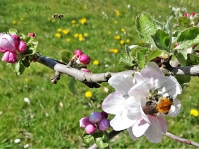 2020-04-22 LüchowSss Garten erste Apfelblüten + Ackerhummel + kl. Wildbiene