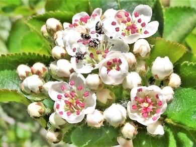 2020-04-23 LüchowSss Garten Schwarze Apfelbeeren (Aronia melanocarpa) +Teppichkäfer(Anthrenus spec.) (1)