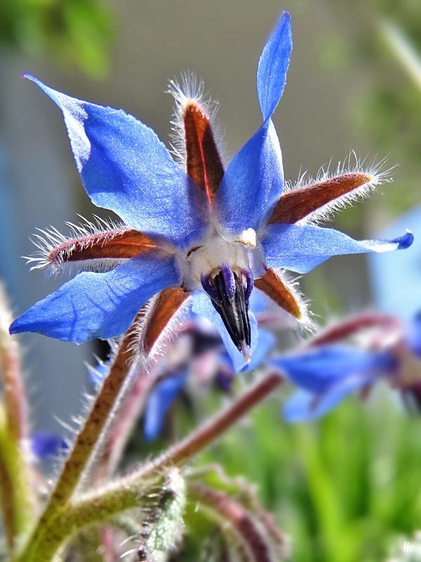 2020-04-24 LüchowSss Garten erste Borretsch-Blüten (Borago officinalis)