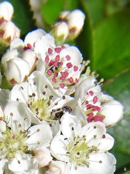 2020-04-24 LüchowSss Garten Schwarze Apfelbeere (Aronia melanocarpa) mt Teppichkäfern (Anthrenus spec.) (3)