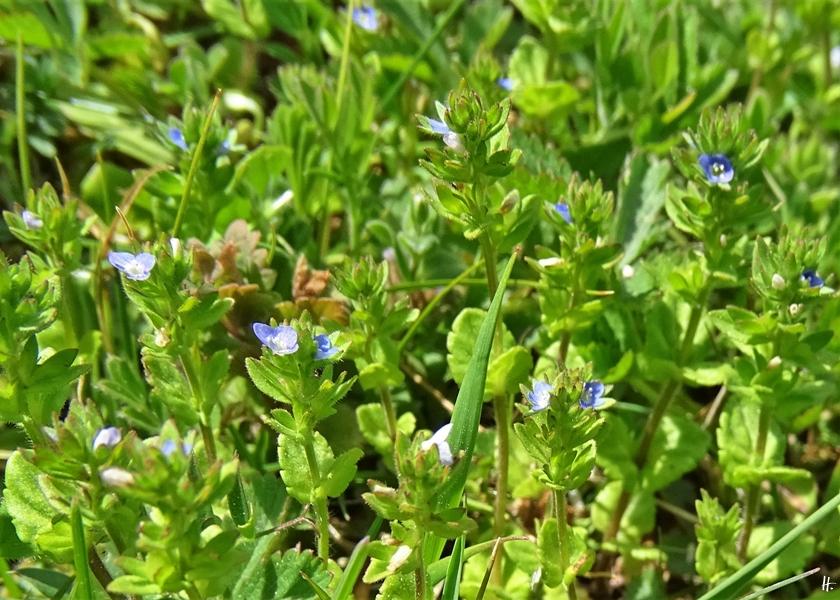 2020-04-25 LüchowSss Garten Feld-Ehrenpreis (Veronica arvensis) (2)