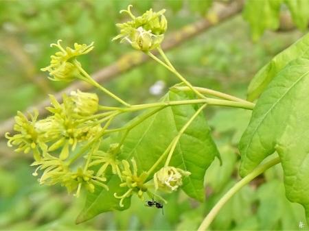 2020-04-25 LüchowSss Garten Feldahorn (Acer campestre) + winziges Insekt (vllt. Wespe)