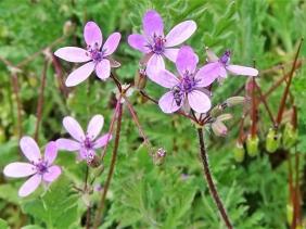 2020-04-25 LüchowSss Garten Gewöhnlicher Reiherschnabel (Erodium cicutarium) + Ameise (1)
