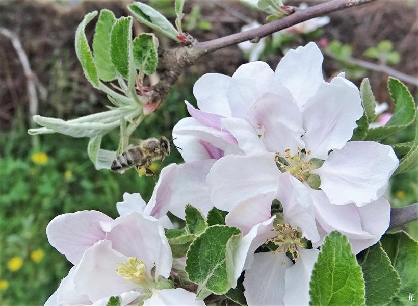 2020-04-26 LüchowSss Garten Apfelblüten + Honigbiene (1)