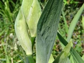 2020-04-26 LüchowSss Garten Bartiris (Iris barbata) - die ersten Knospen