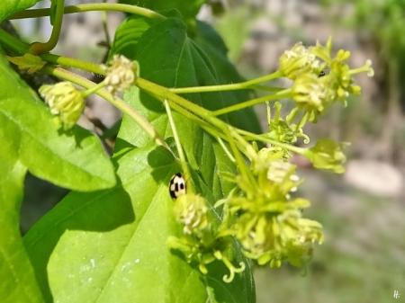 2020-04-27 LüchowSss Garten Feldahorn (Acer campestre) + Schachbrett-Marienkäfer (Propylea quatuordecimpunctata)