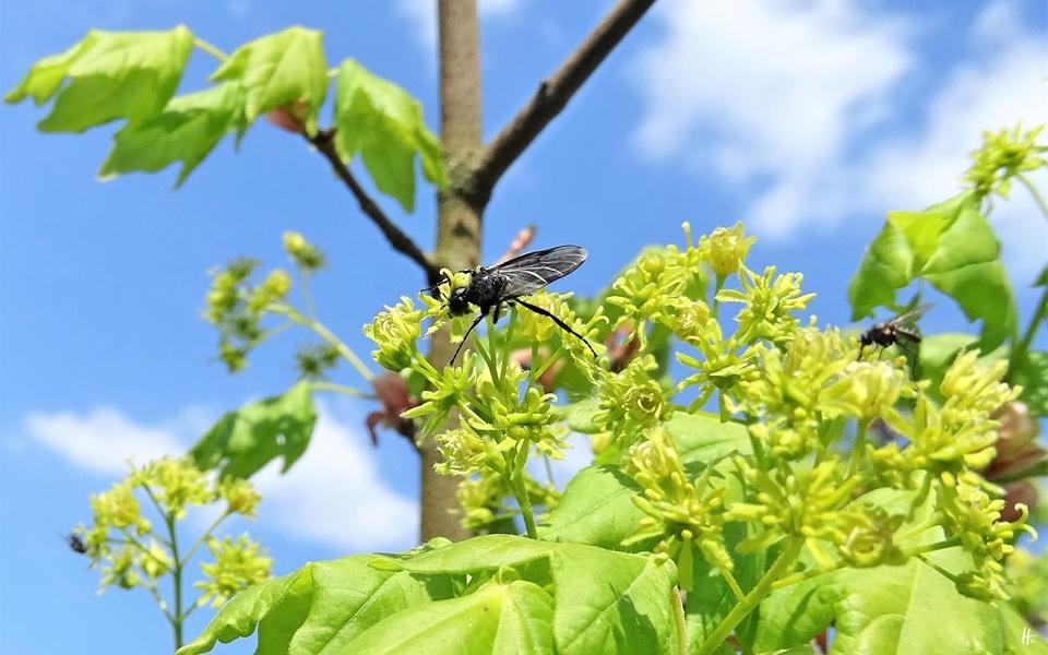 2020-04-27 LüchowSss Garten Feldahorn (Acer campestre) + schwarze Fliege (evtl. Tanzfliege, Empis spec.) (1)