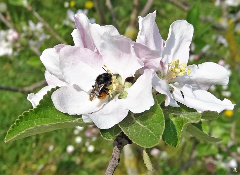 2020-04-28 LüchowSss Garten Apfelblüten + Gehörnte Mauerbiene (1)